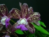 Sarasota Orchid Society 58th Annual Orchid Show and Sale