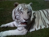 Wild-O-Ween at Big Cat Habitat & Gulf Coast Sanctuary